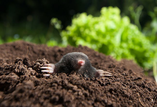 Steps on Preventing Moles From Infesting Your Lawns